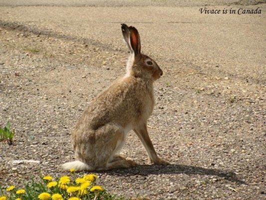 5/24這隻野兔已經變成我們的鄰居!