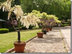 藤の鉢植え