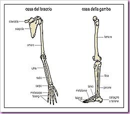 ossa delle braccia e delle gambe